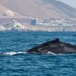 Humpback Whate breaching near PG & E's Diablo Canyon nuclear facility.  Photo credit to mikebaird, Flickr