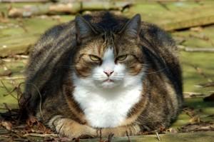 A Fat Cat.
