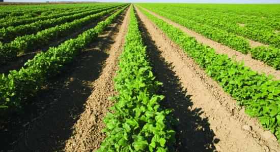 Row crops growing in California.