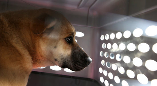 SAN FRANCISCO, CA - MARCH 20:  A dog rescued from a South Korean dog meat farm sits in a crate at the San Francisco the San Francisco Society for the Prevention of Cruelty (SPCA) shelter on March 20, 2015 in San Francisco, California. The Humane Society International rescued 57 dogs from a South Korean dog meat farm that were raising the dogs for human consumption. The dogs are being distributed to San Francisco Bay Area shelters and will be up for adoption.  (Photo by Justin Sullivan/Getty Images)